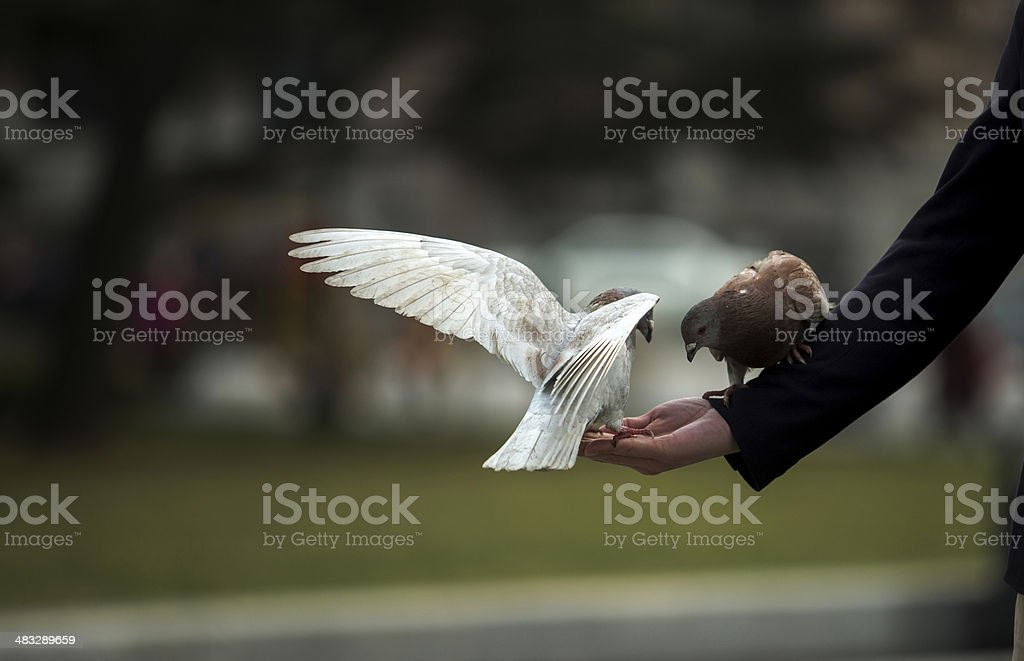dove stops on a human hand royalty-free stock photo
