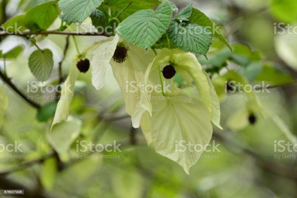 Dove Tree Flower / Davidia involucrata / Handkerchief Tree Flower stock photo