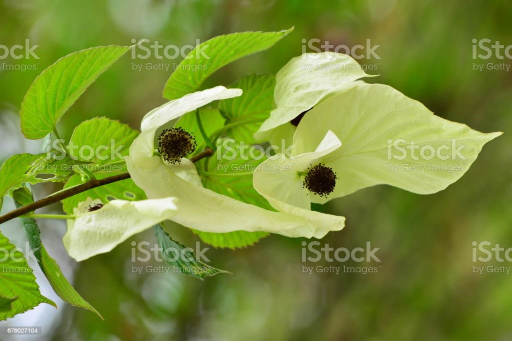 Dove Tree Flower / Davidia involucrata / Handkerchief Tree Flower stock photo