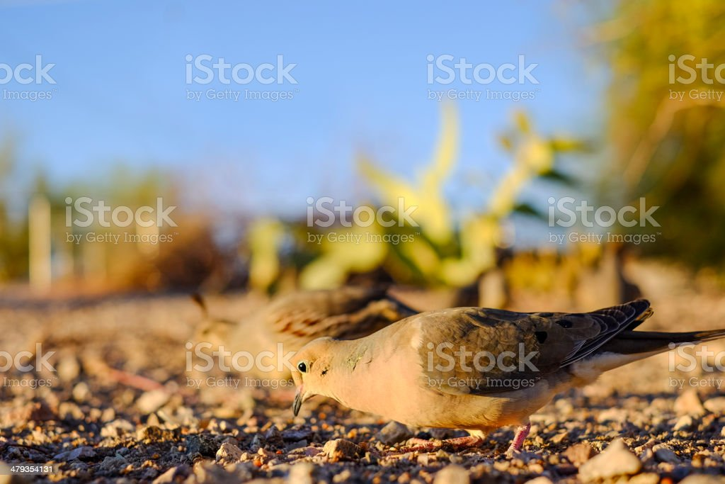 Doves Eating royalty-free stock photo