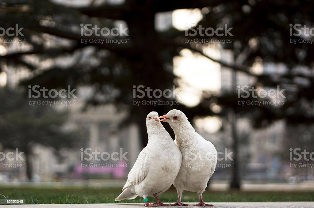 doves falling in love royalty-free stock photo