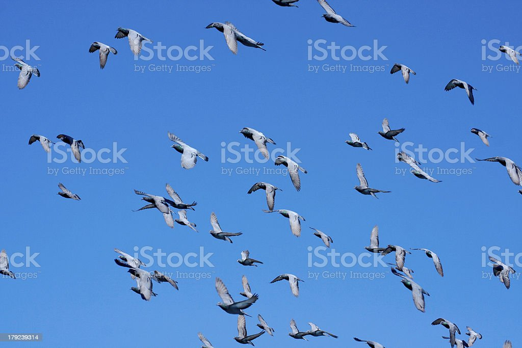 doves (pigeons) flying in  a blue sky. stock photo