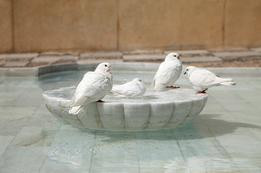 Doves in an old fountain.