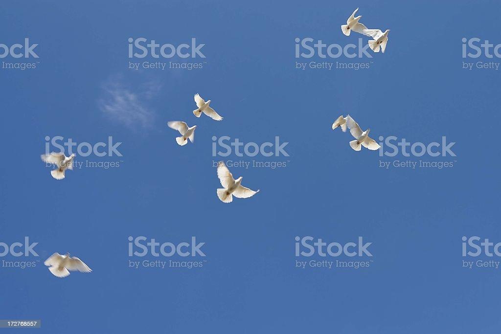 Doves in flight stock photo
