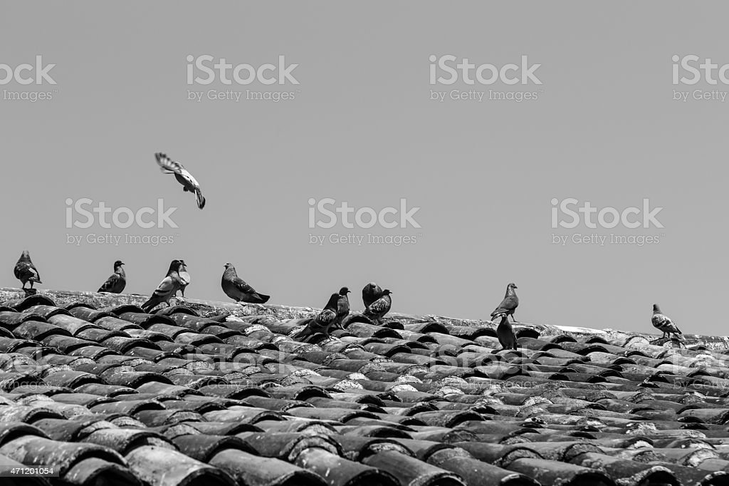 Doves in roof of tiles in black and white stock photo
