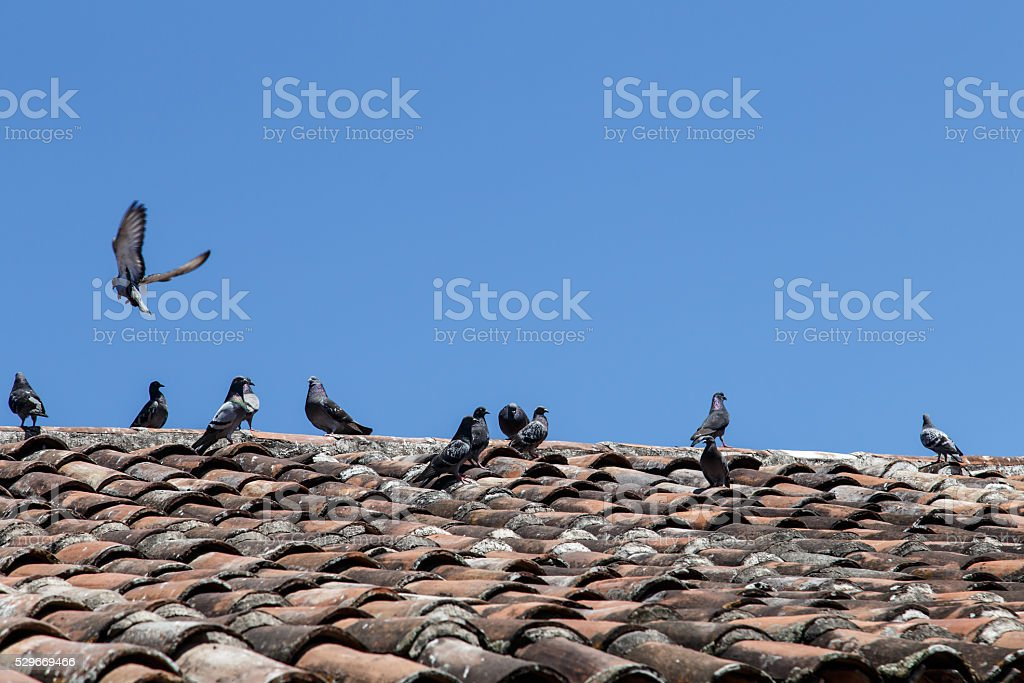 Doves in roof of tiles stock photo