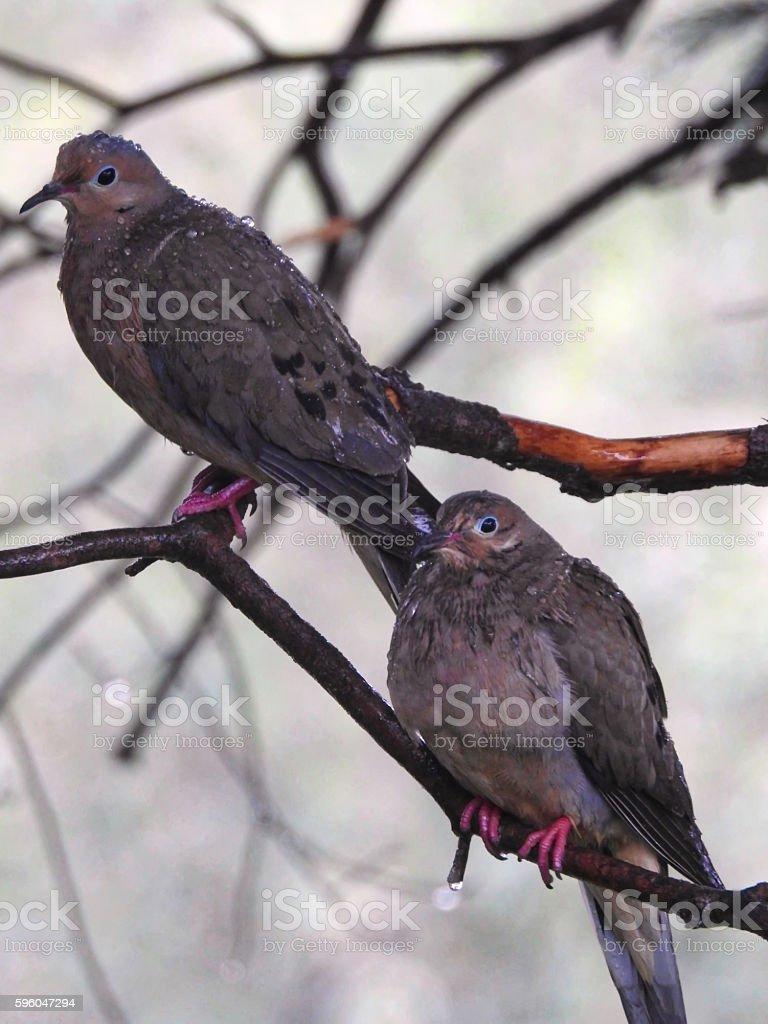 Doves in the Rain royalty-free stock photo