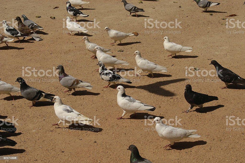 doves royalty-free stock photo