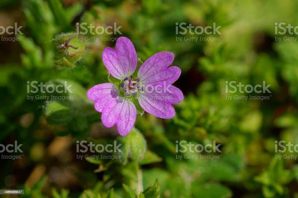 Dovesfoot geranium stock photo