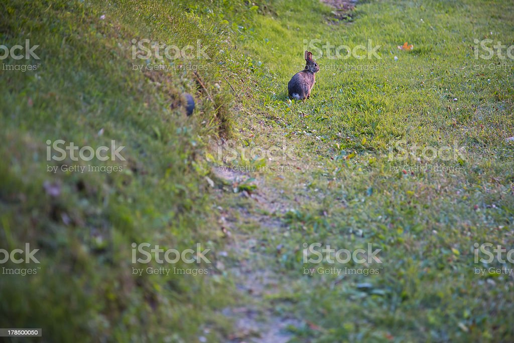 A lone rabbit at sunset in a patch of green grass. The blur of the...