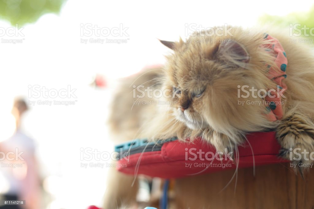 A fluffy, well groomed cat lying down on a pillow outside.