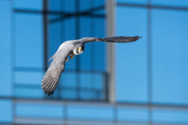 downtown flight - falcon bird stock photos and pictures