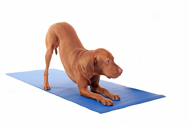 Downward dog picture id164102014?b=1&k=6&m=164102014&s=612x612&w=0&h=dk qvuom82hnxa7skelceaund6nwcfjpwx7r14nxnmy=