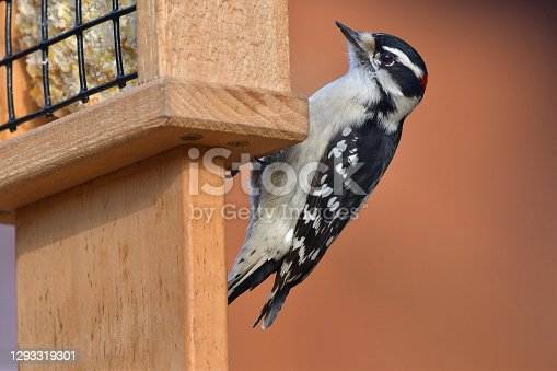 Downy woodpecker in winter sunlight at a suet feeder in the Connecticut countryside