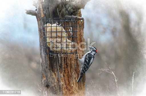 A downy Woodpecker is perched on a decaying tree to eat suet from a feeder.