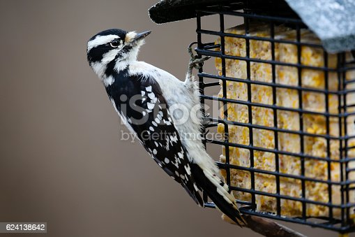 Close-up of a Downy woodpecker eating at a suet feeder.