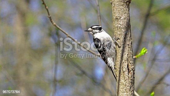 Downy woodpecker female bird on tree branch in forest in Hendrie Park, Royal Botanical Gardens, Burlington, Ontario, Canada