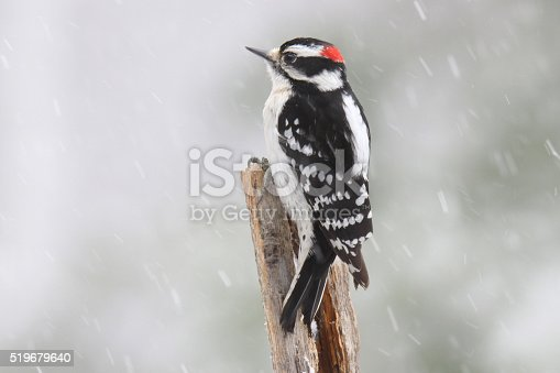 A male downy woodpecker (Picoides pubescens) perching in a winter snow storm