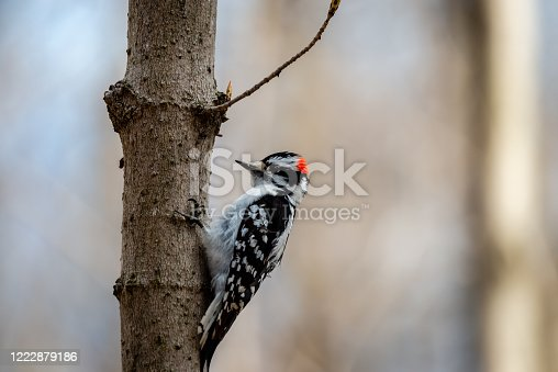 Downy woodpecker in the city park