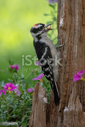 A Downy Woodpecker looks to store a peanut in an old tree trunk.