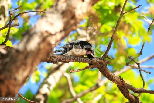 A male Downy Woodpecker (Picoides pubescens) forages for grubs in a Gambel Oak at Maxwell Canyon Park, Utah.