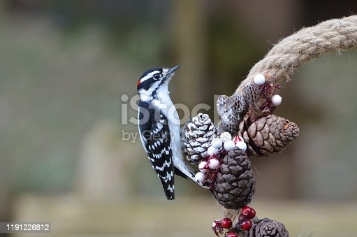 Close up of a male Downy Woodpecker perched on the side of a Christmas wreath