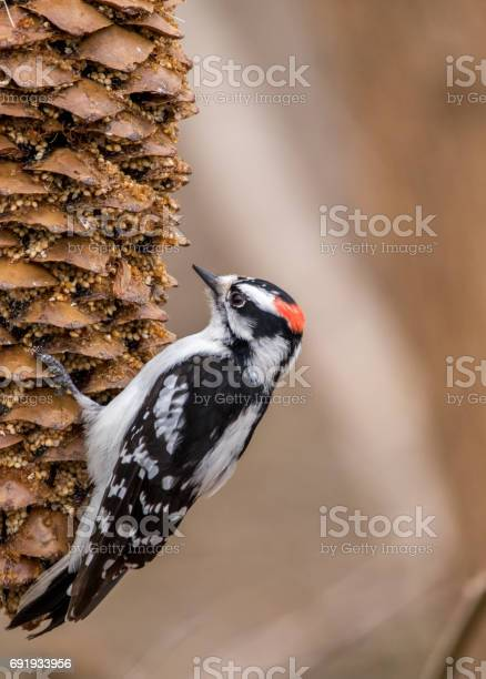 Downy woodpecker on feeding on pine cone picture id691933956?b=1&k=6&m=691933956&s=612x612&h=ejwncev20wt5khynhd08gfxwf5fwcf4d9rgdr uca2g=