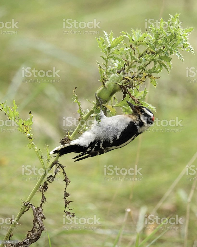 Downy Woodpecker on thistle royalty-free stock photo