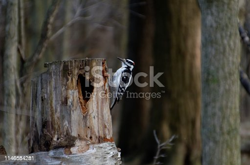A Downy Woodpecker (Dryobates pubescens) pecking at a cut tree stump at Lynde Shores Conservation Area in Whitby, Ontario, Canada