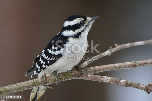 Close up of a female Downy Woodpecker perched on a branch