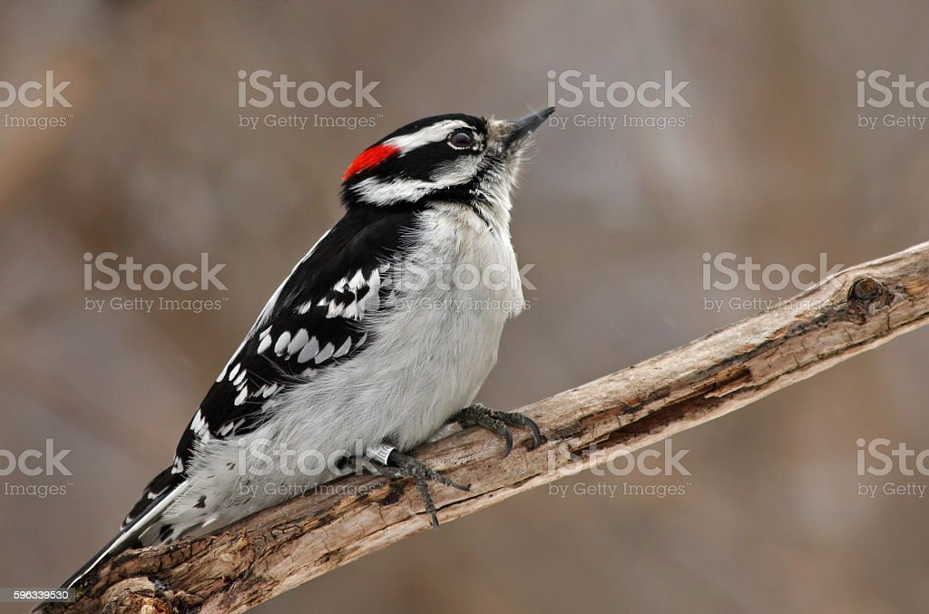Downy Woodpecker royalty-free stock photo