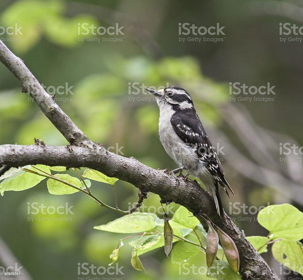 Downy Woodpecker royalty-free stock photo