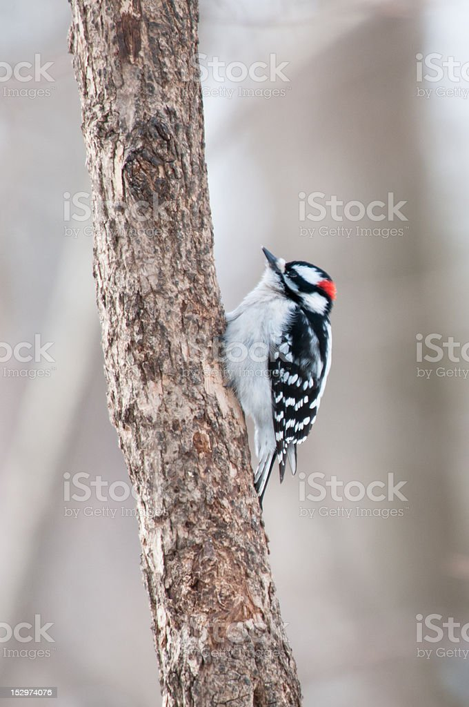 Downy woodpecker sits on the tree trunk stock photo