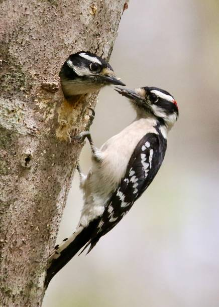 Downy Woodpeckers and nest stock photo