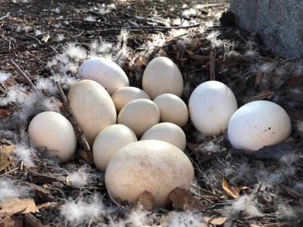 A dozen eggs in the nest stock photo