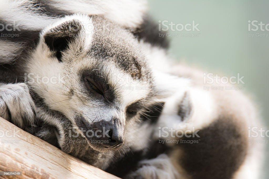 Dozing lemur cattas royalty-free stock photo