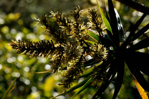 Dracaena Asparagaceae in Bloom with Focus on Flowers of Branch stock photo