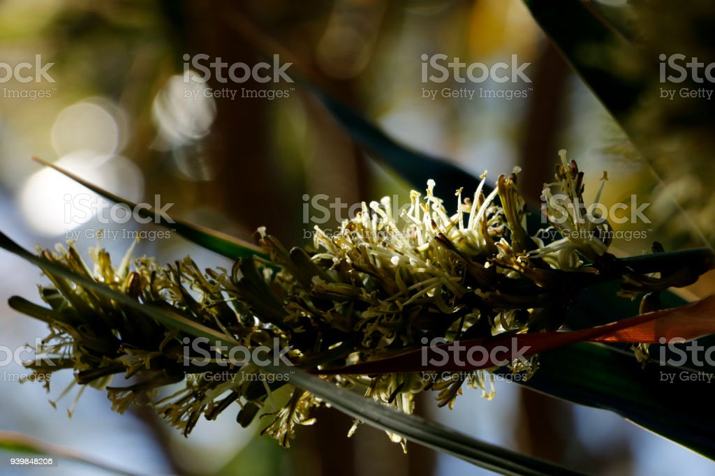 Dracaena Asparagaceae in Bloom with Focus on Twig of Flower Branch stock photo