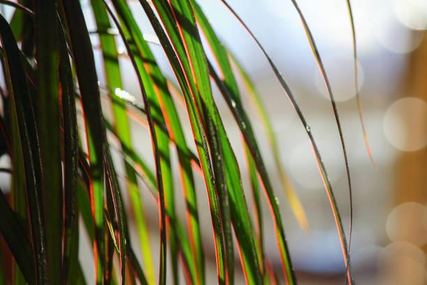 ドラカエナエッジ(ラット。クラシックなインテリアのドラカエナ・ルマタータ)または「レッドドラゴンツリー」。家庭菜園や植物と部屋をたたきます。 - 椅子 家具 ストックフォトと画像