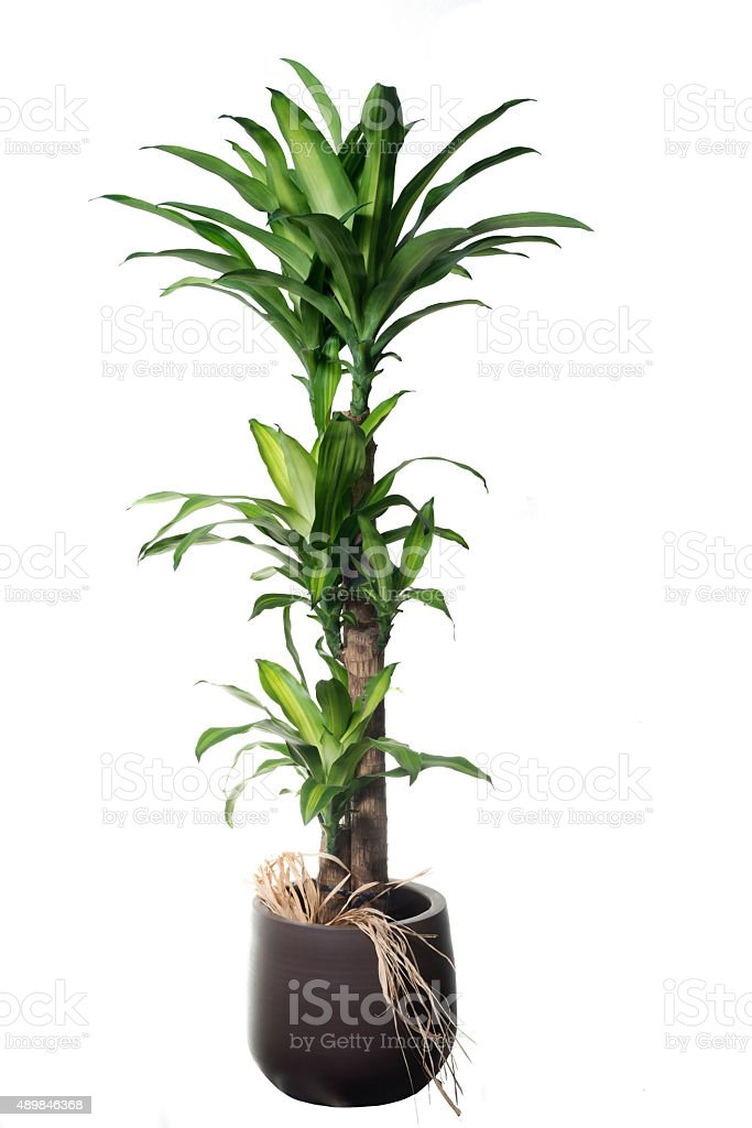 Dracaena fragans Massageana isolated stock photo