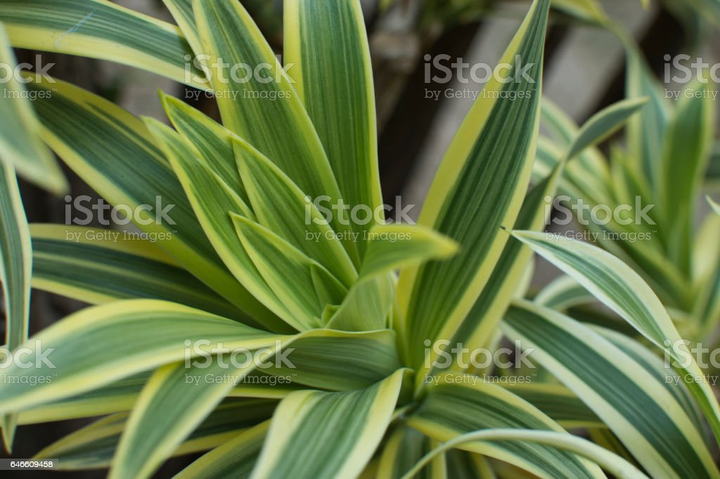 Dracaena green leaves close up for background. stock photo