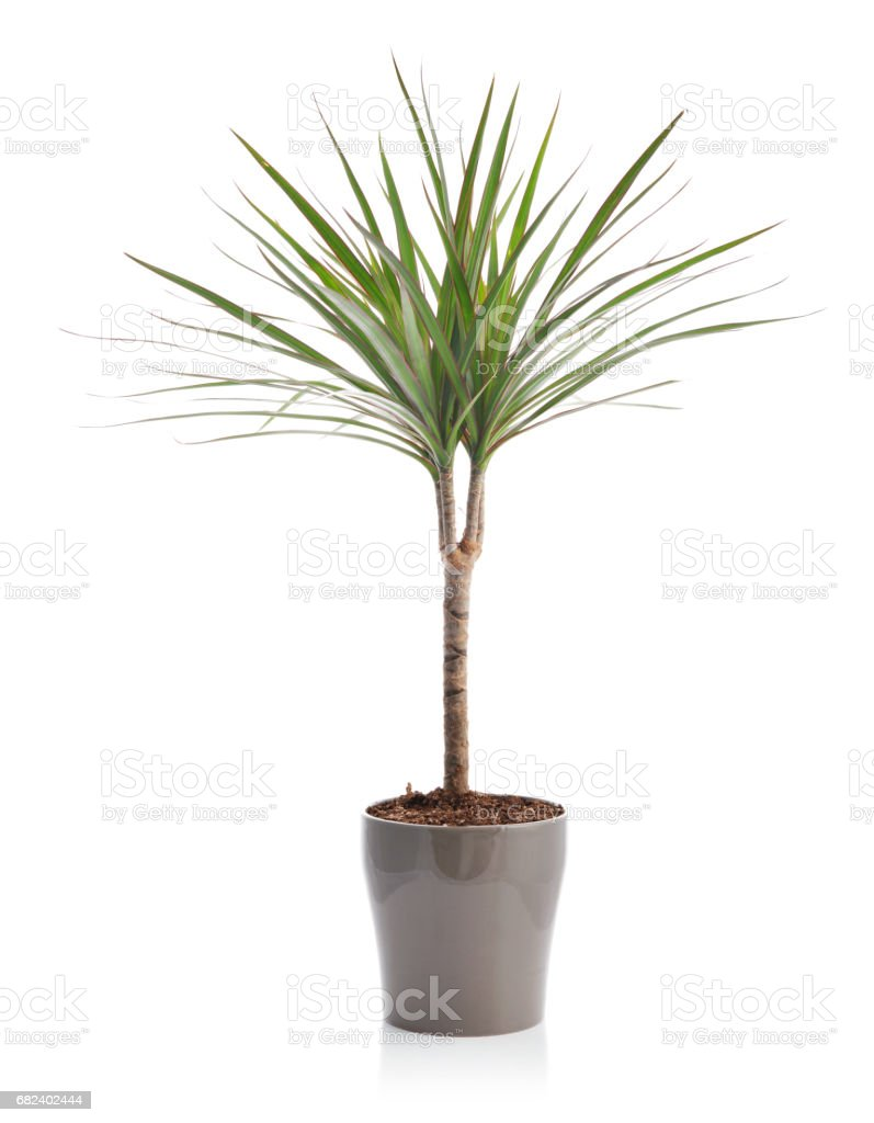Dracaena in a flower pot stock photo