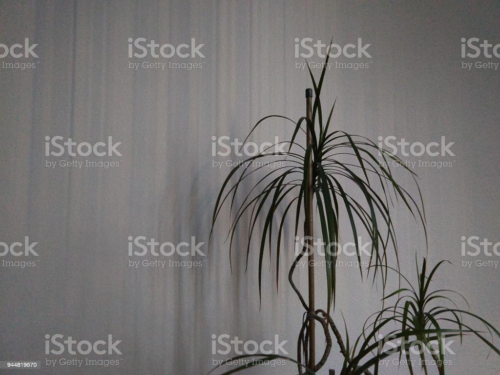 Dracaena in the room. stock photo
