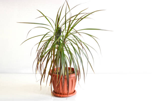 Dracaena. Indoor plant in a pot on a light background. Dracaena. Indoor plant in a pot on a light background. marginata stock pictures, royalty-free photos & images