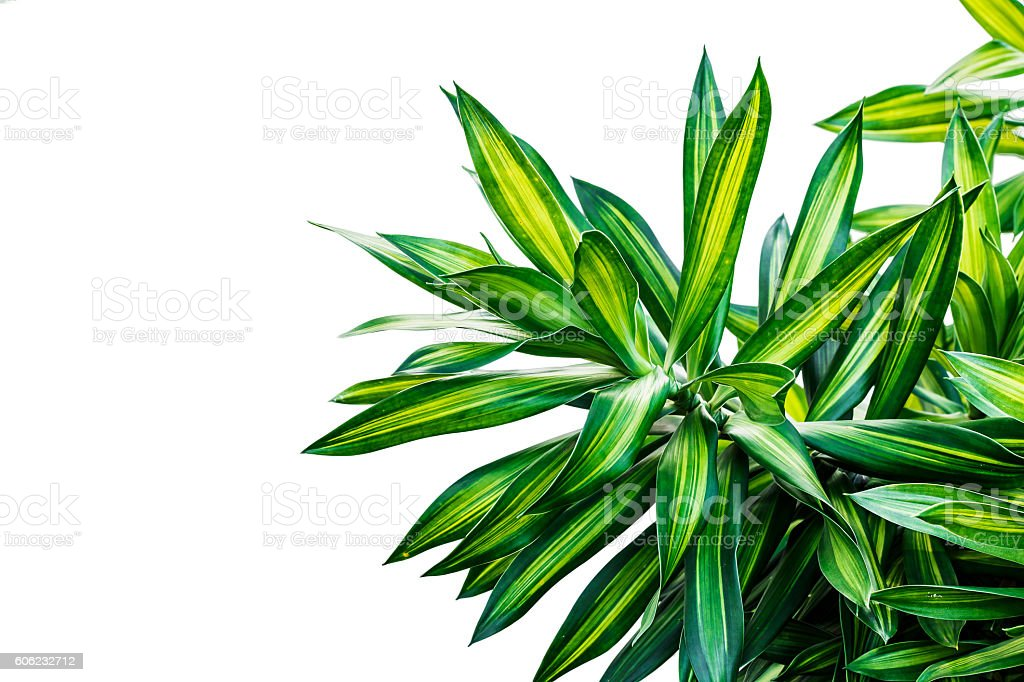 Dracaena isolated on white Background,The leaves are beautiful detail. stock photo