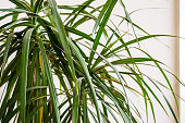 Dracaena Leaves With White Background
