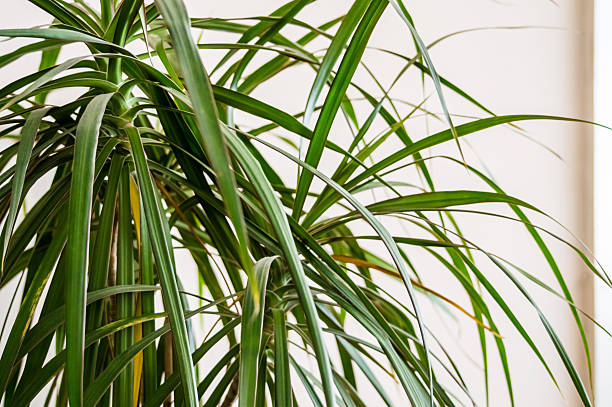 Dracaena Leaves With White Background stock photo