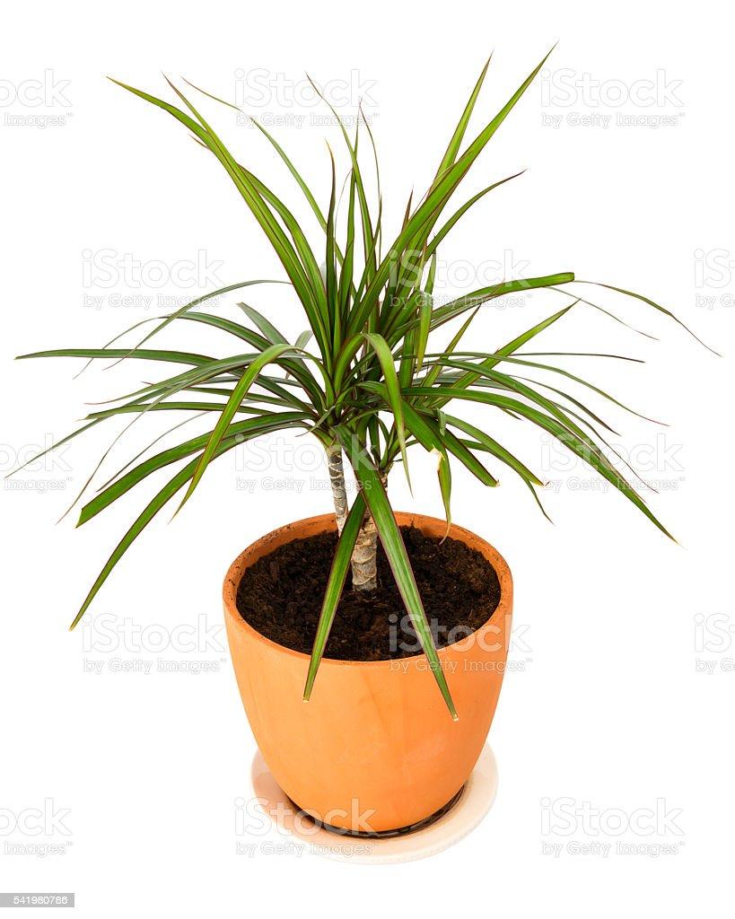 Dracaena marginata in a pot stock photo