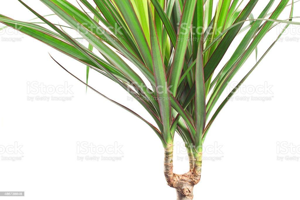 Dracaena marginata plant over white stock photo