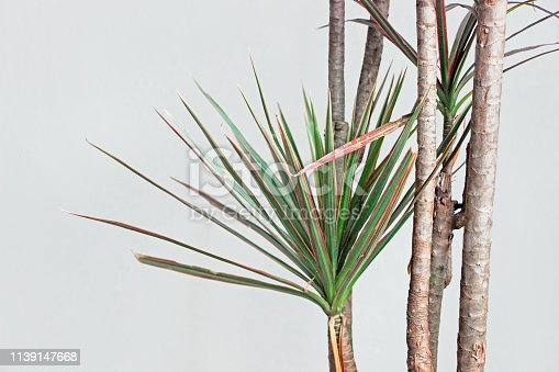 dracaena marginata plant with white wall